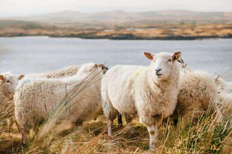 eco friendly insulation sheeps wool